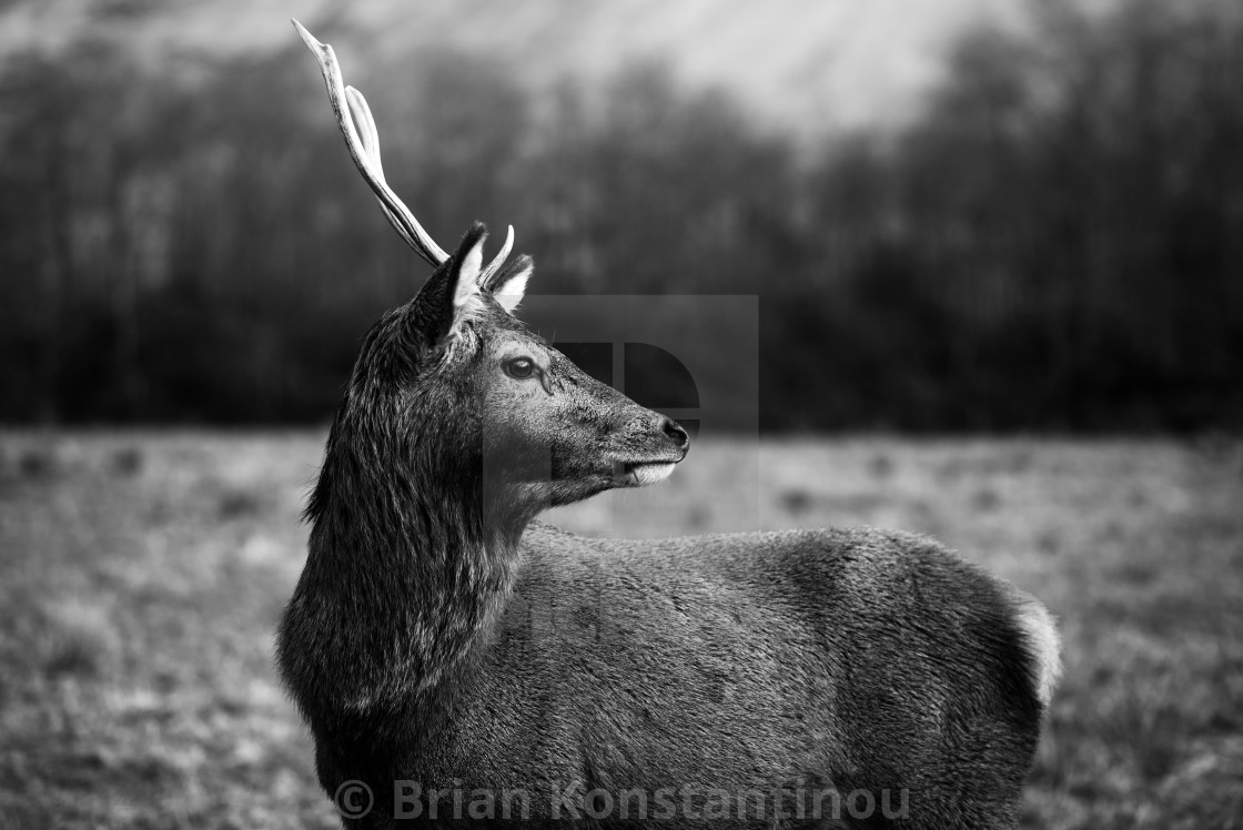 """Highland Deer"" stock image"