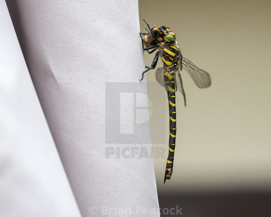 """""""A golden-ringed dragonfly eating a bee"""" stock image"""