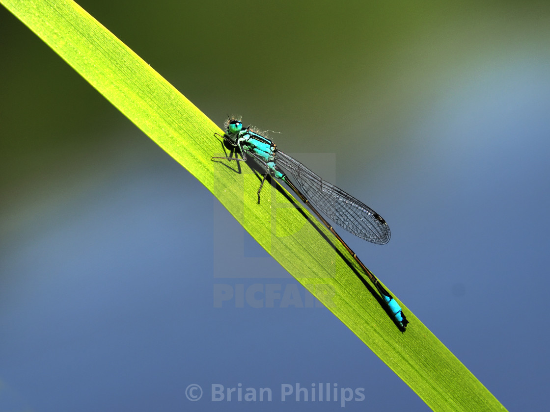"""Blue Tailed Damselfly"" stock image"