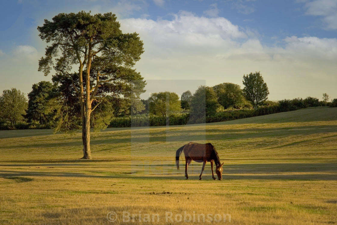 """""""New Forest Pony"""" stock image"""