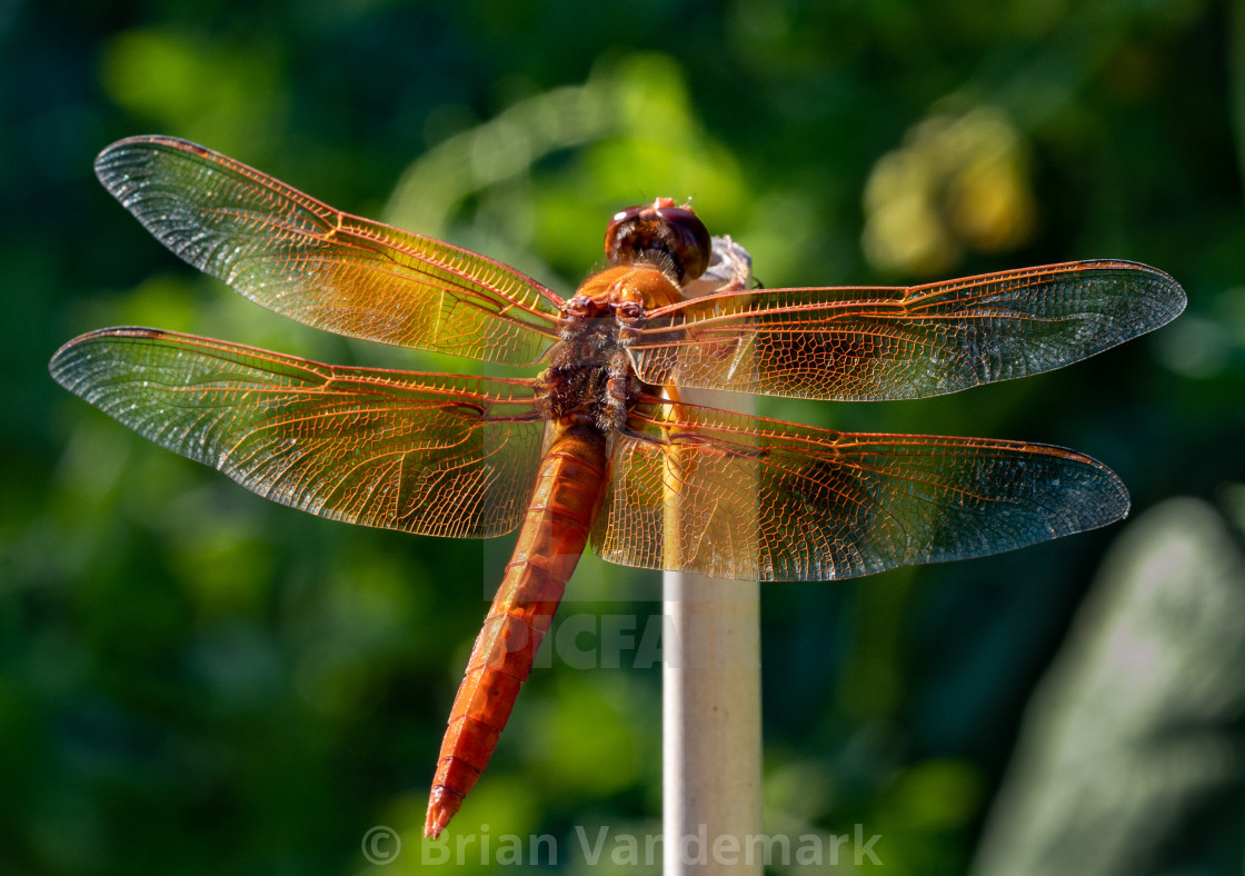 """""""Flame Skimmer Dragonfly"""" stock image"""