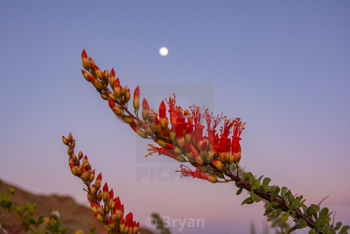 """Ocotillo Bloom"" stock image"
