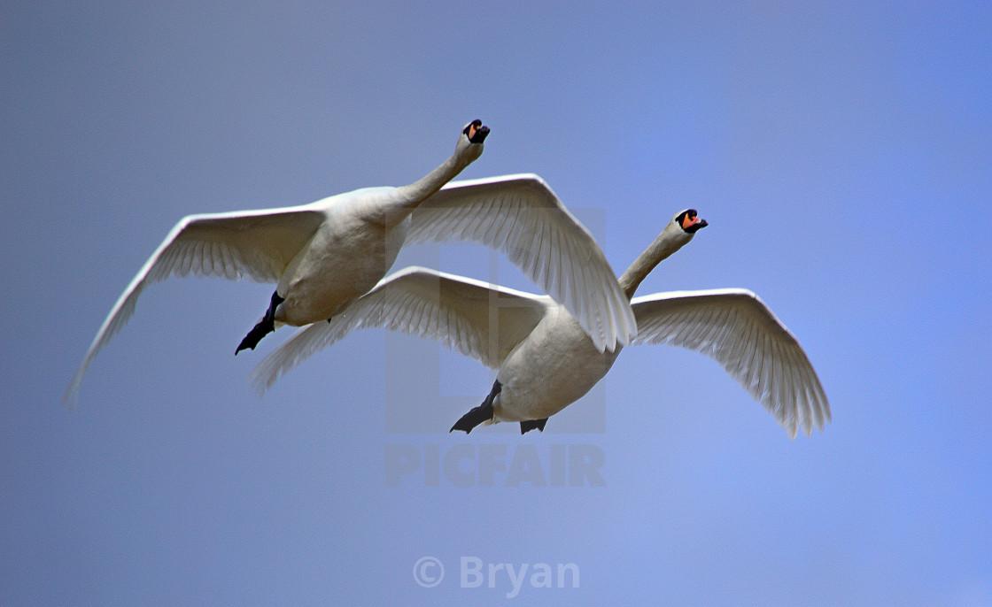 """Mute Swans in Flight"" stock image"