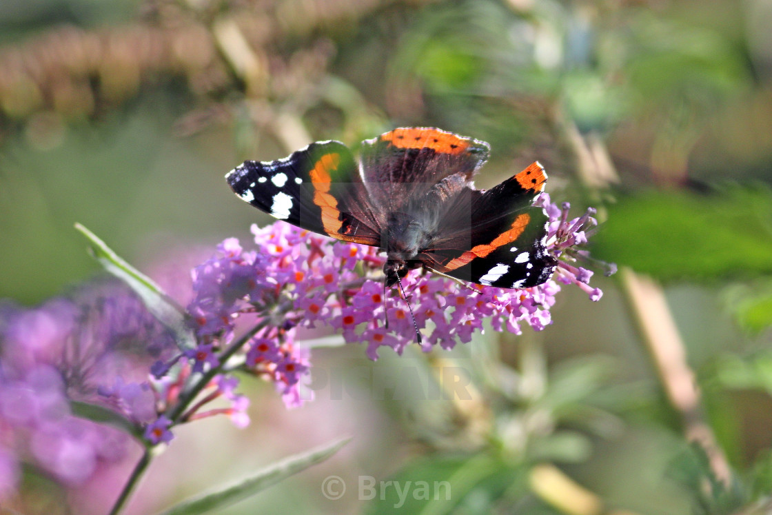 """""""Red Admiral butterfly"""" stock image"""