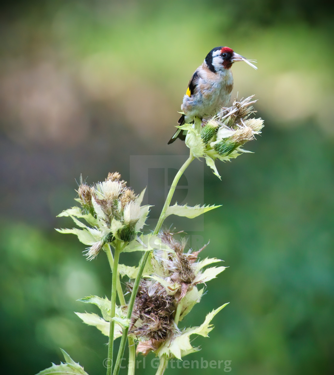"""European Goldfinch"" stock image"