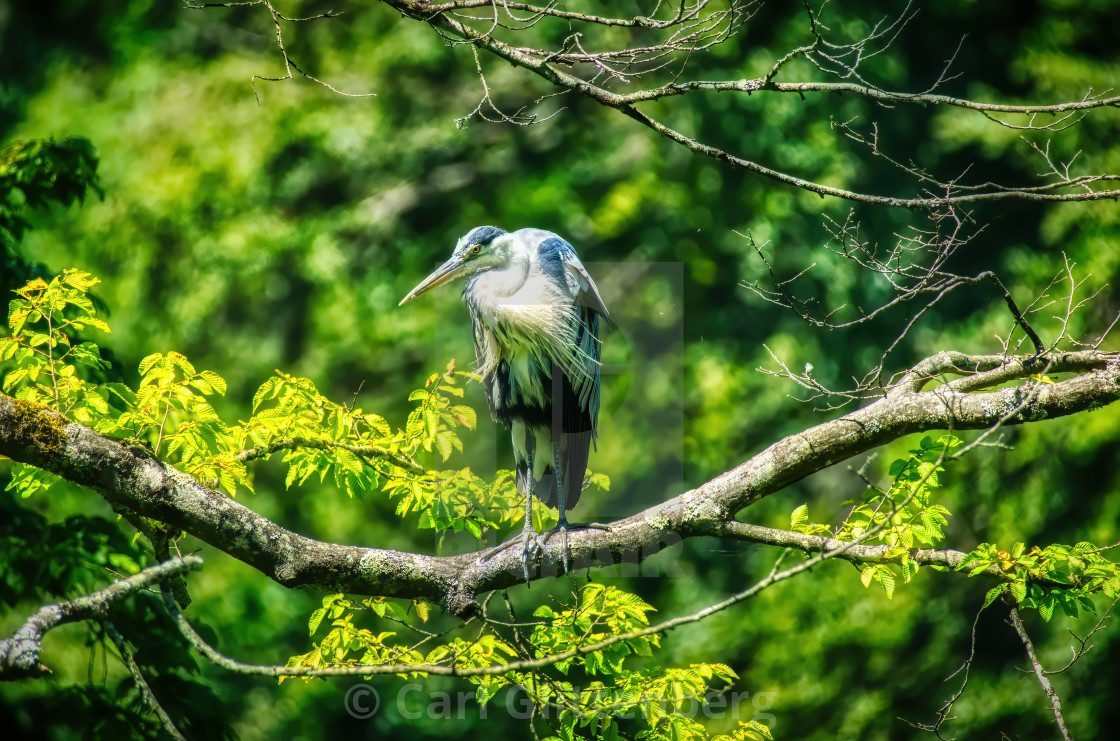 """The Grumpy Heron on a Branch"" stock image"