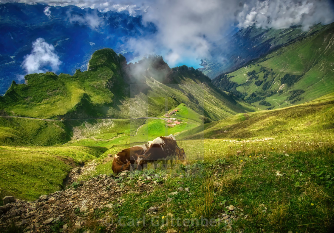 """Cows on the slopes of the Brienzer Rothorn"" stock image"