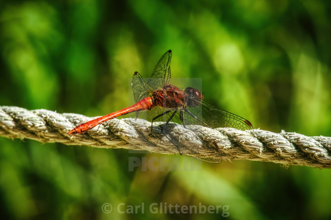 """A red dragonfly sitting on a rope"" stock image"