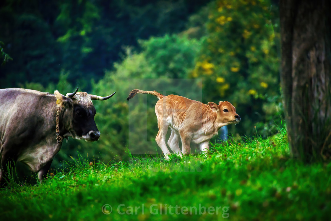 """A young calf frolicking on a pasture"" stock image"