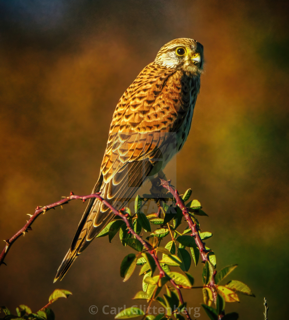 """Falcon sitting on a branch"" stock image"