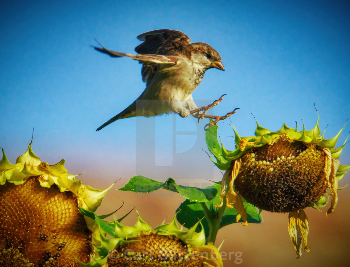 """The sparrow and the sunflower"" stock image"