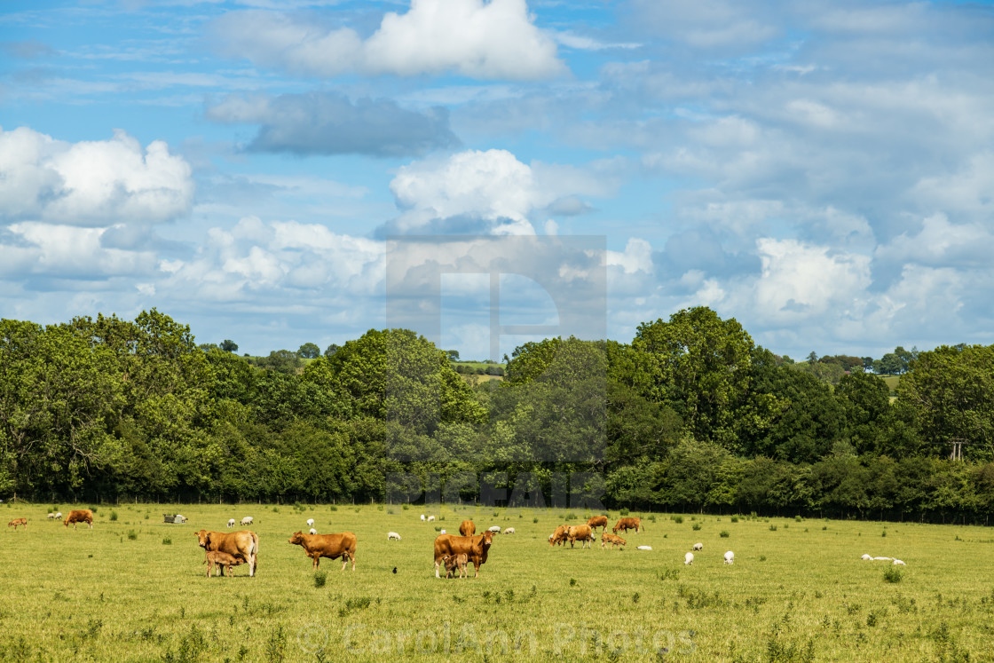 """Calves, Cows and sheep"" stock image"