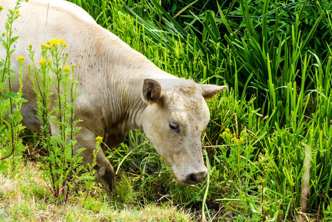 """Cow looking for water"" stock image"
