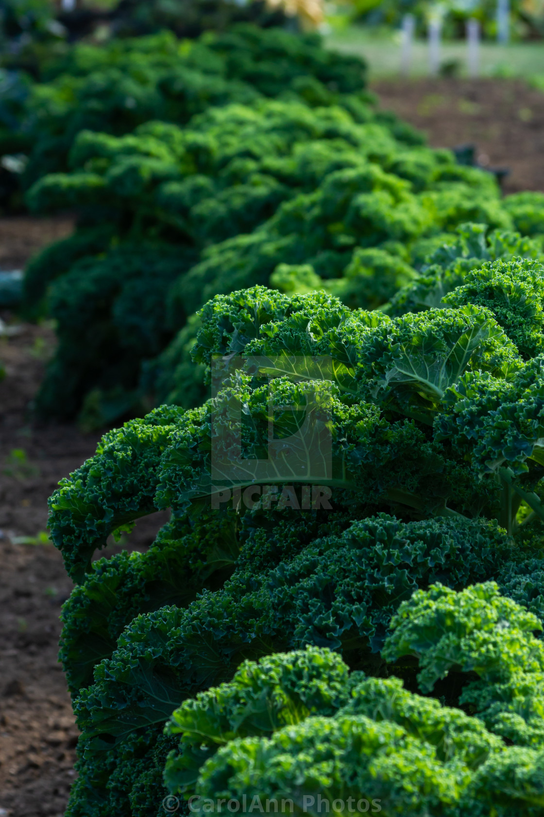 """""""Curly kale"""" stock image"""