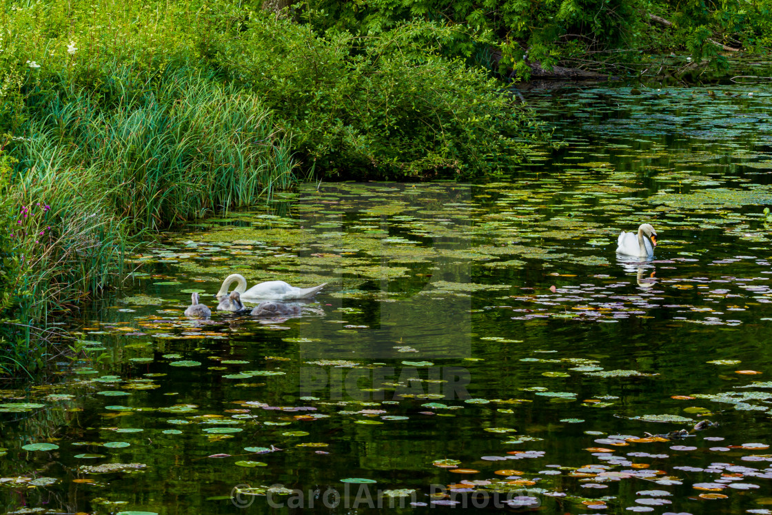 """""""Swans on a lake"""" stock image"""