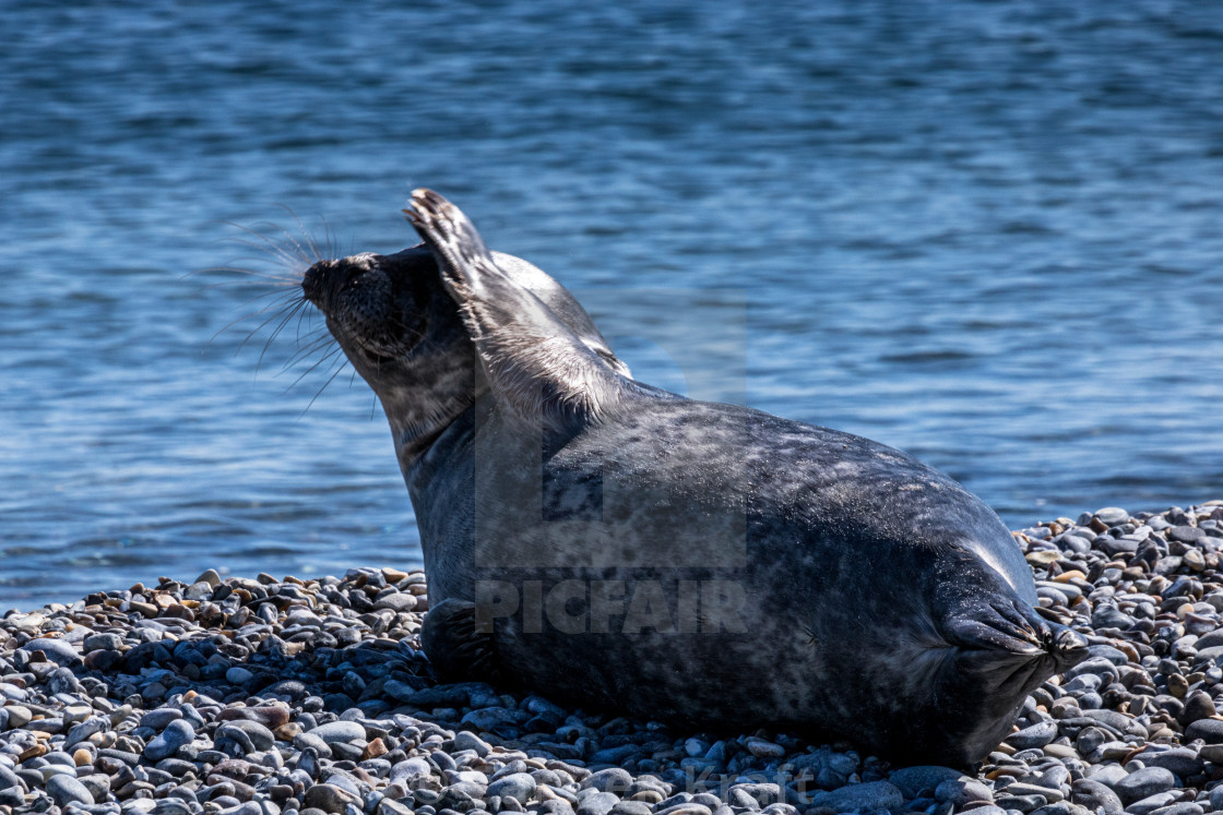 """waving Seal"" stock image"