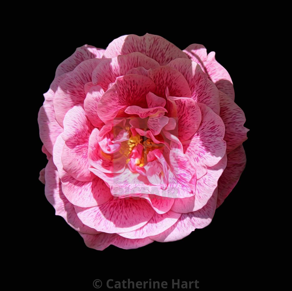 """Variegated rose"" stock image"