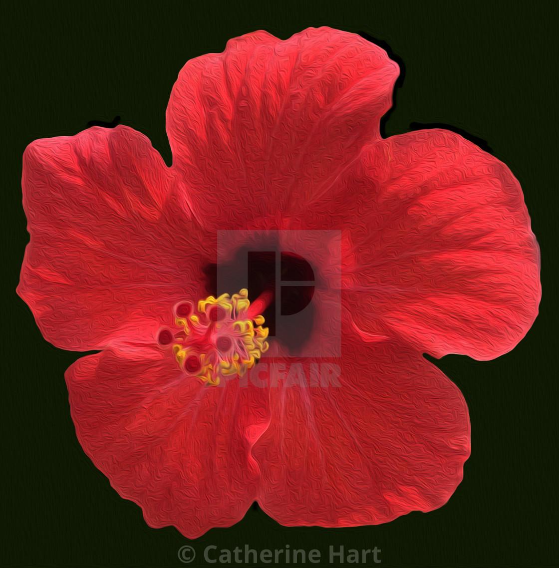 """Hibiscus flower"" stock image"