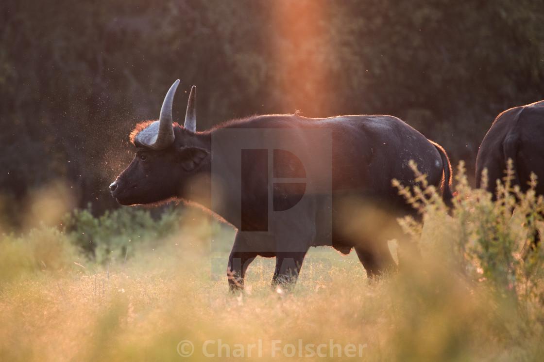 """Snorting Water Buffalo"" stock image"