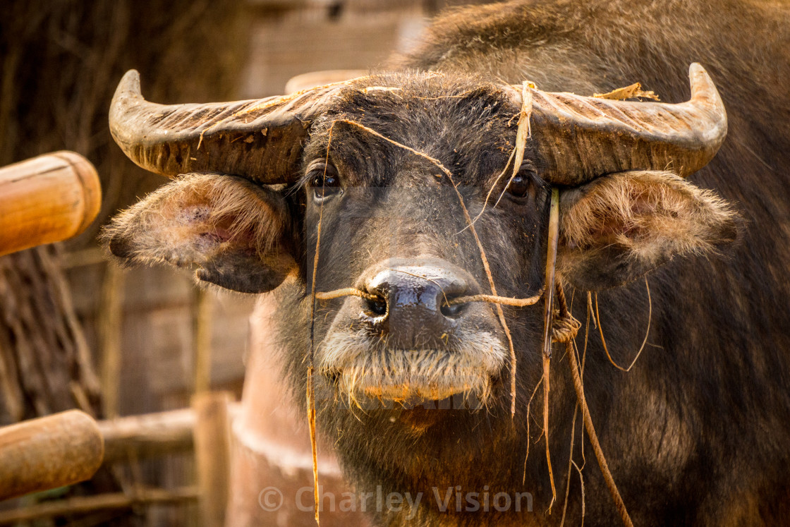 """Buffalo of Myanmar"" stock image"