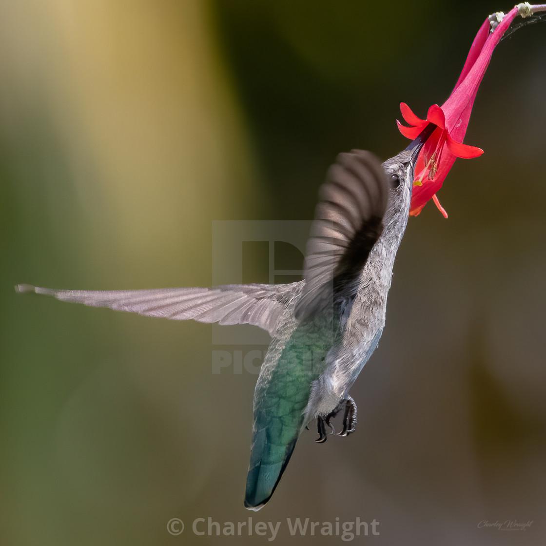 """""""Feeding on Nectar"""" stock image"""
