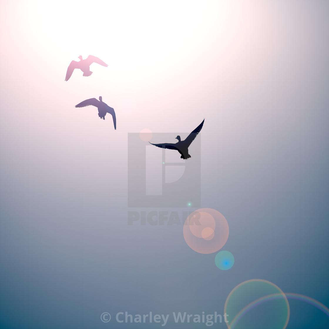 """Mallard Ducks flying into the sun"" stock image"