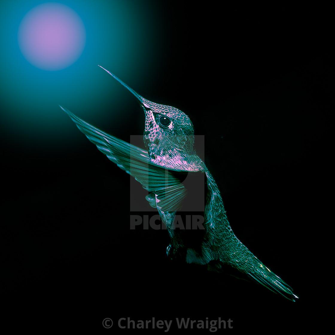 """Anna's Hummingbird reaching for the light."" stock image"
