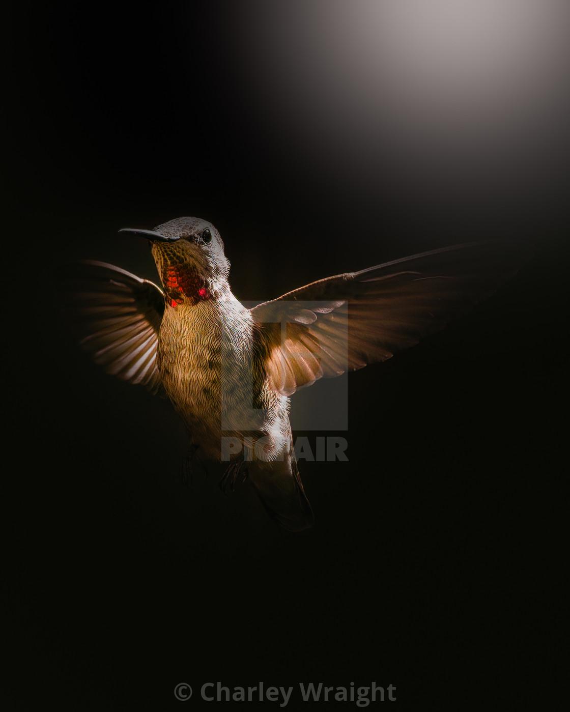 """Anna's Hummingbird"" stock image"