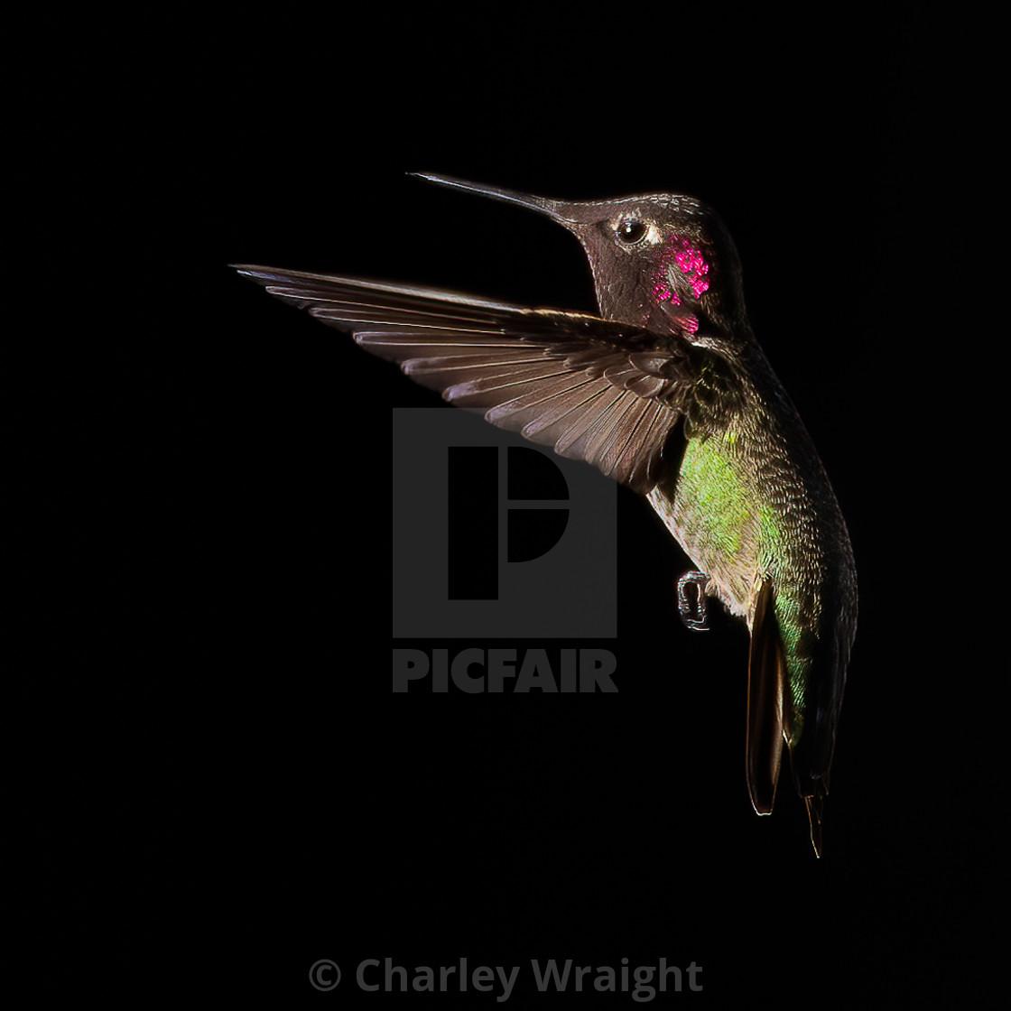 """A Male Anna's Hummingbird"" stock image"