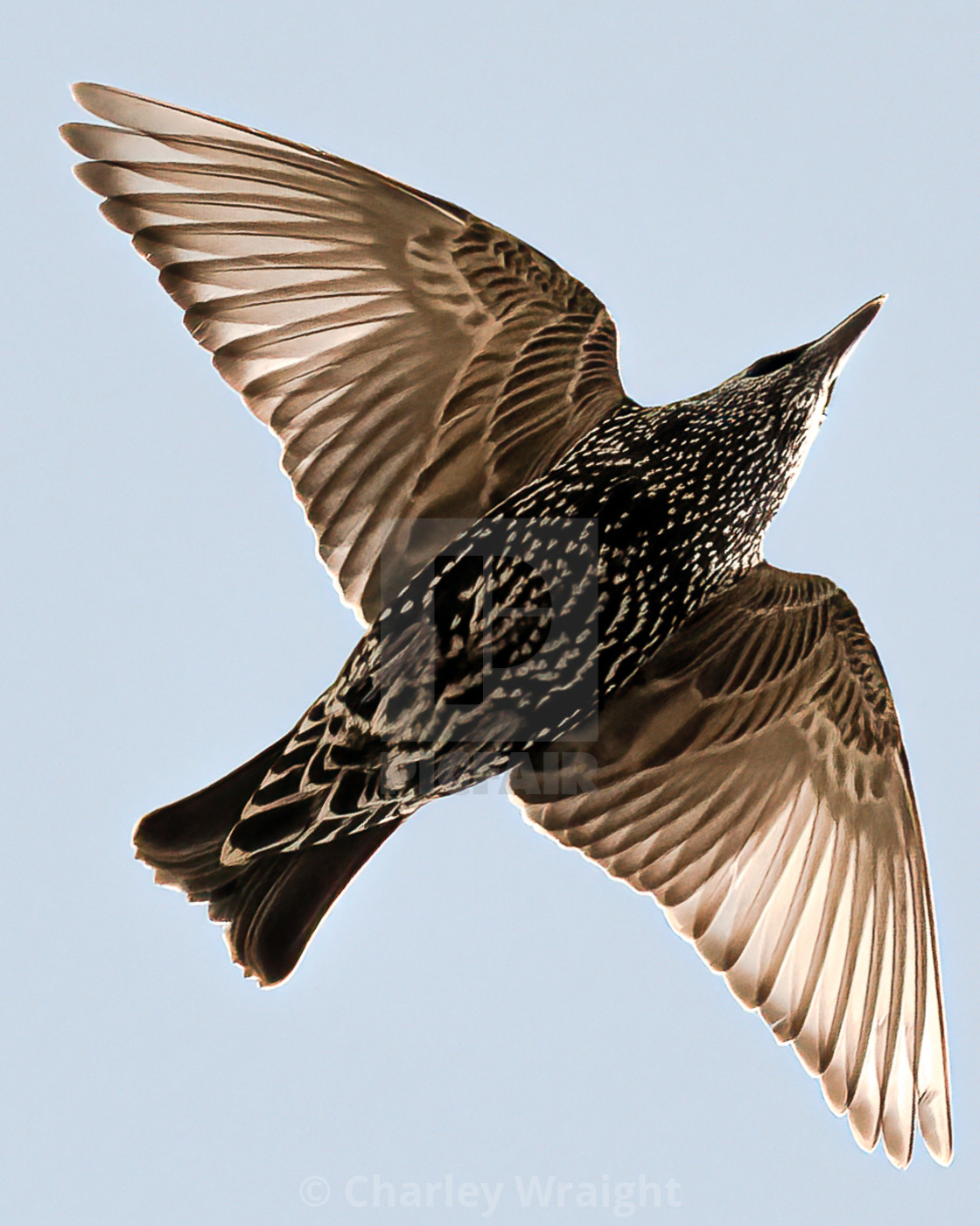 """""""A European Starling"""" stock image"""