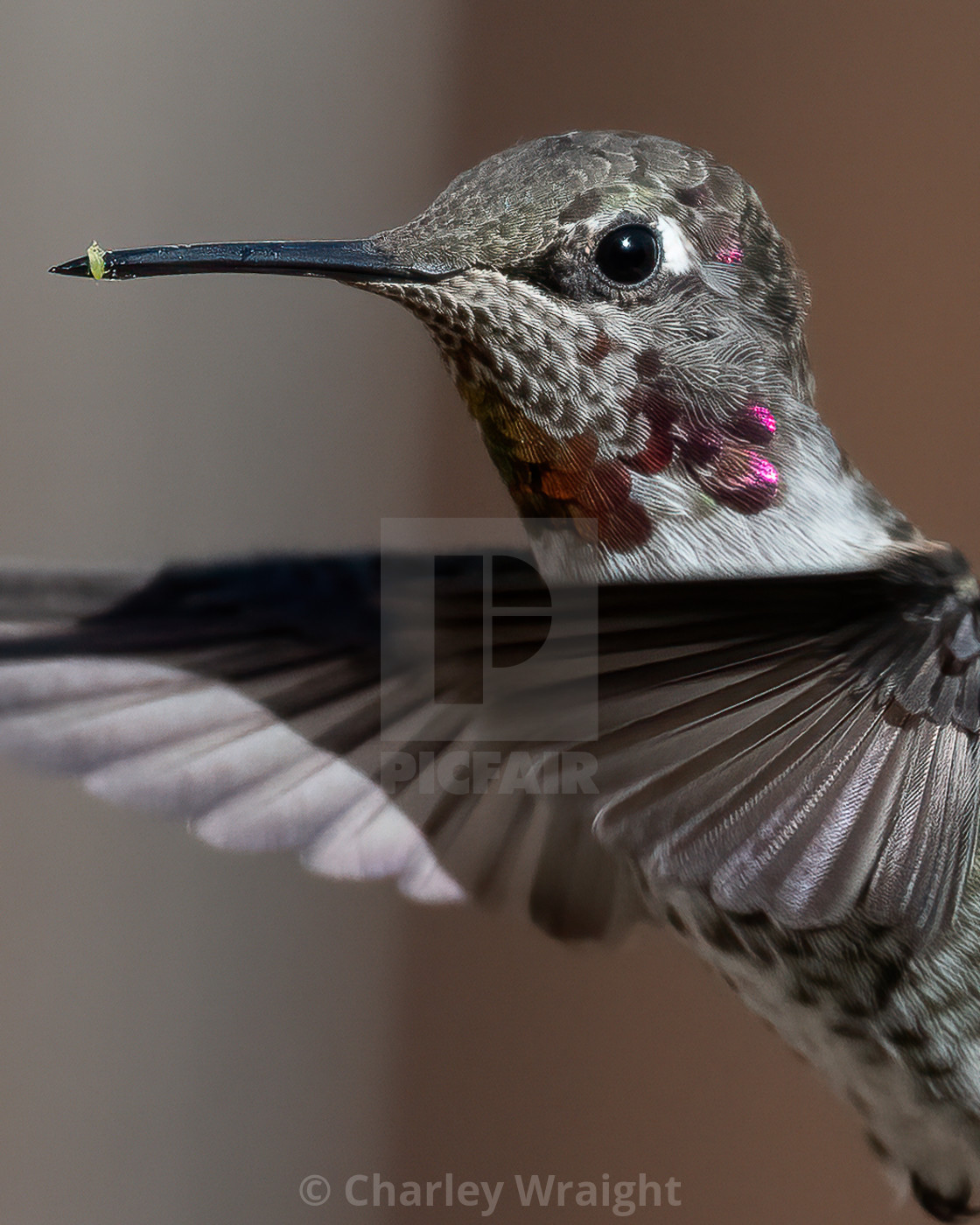"""A female Anna's Hummingbird with a tiny leaf on her beak."" stock image"
