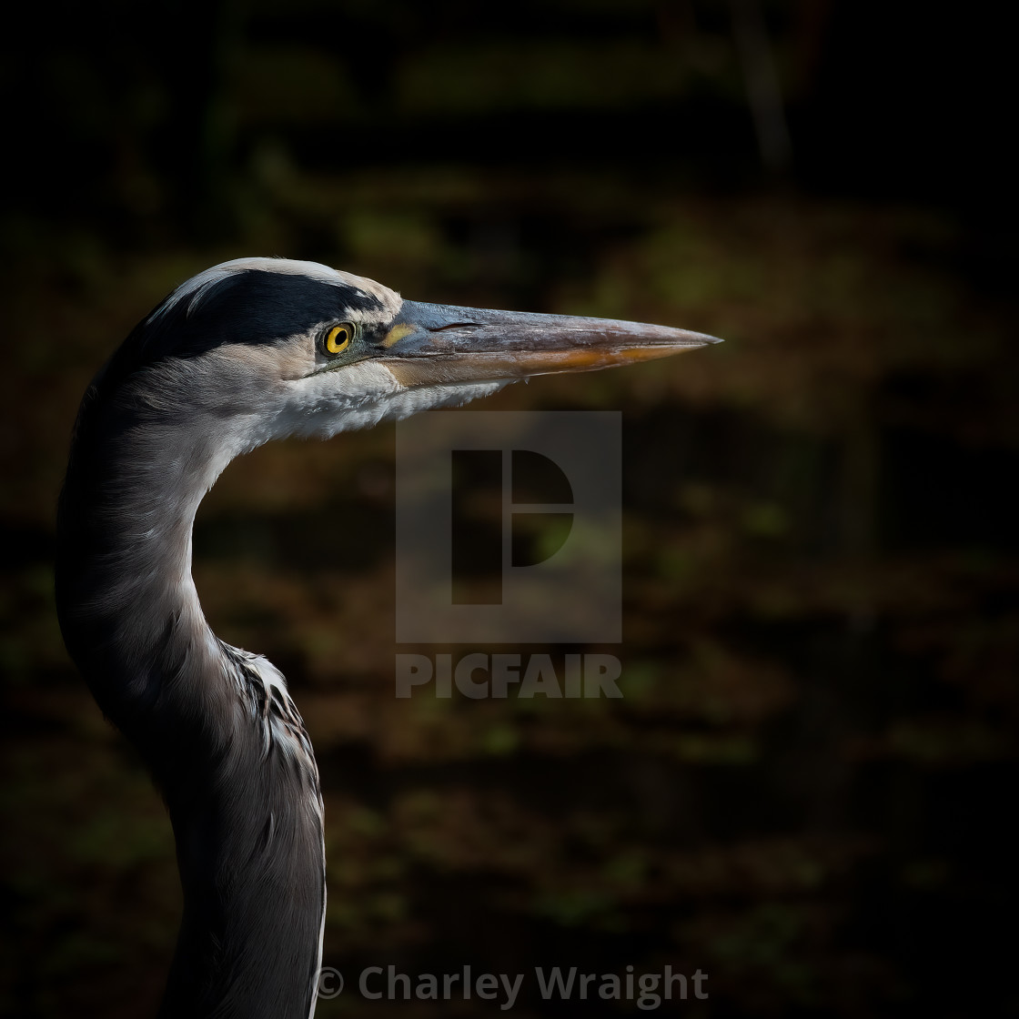 """""""A great blue heron."""" stock image"""