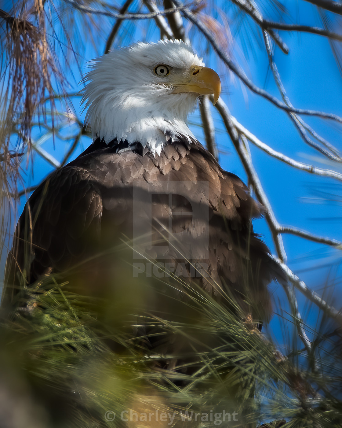 """A Bald Eagle."" stock image"