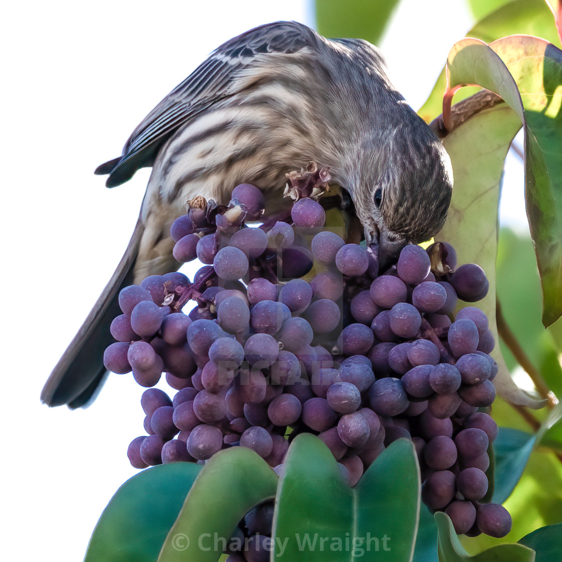 """A hungry House Finch."" stock image"