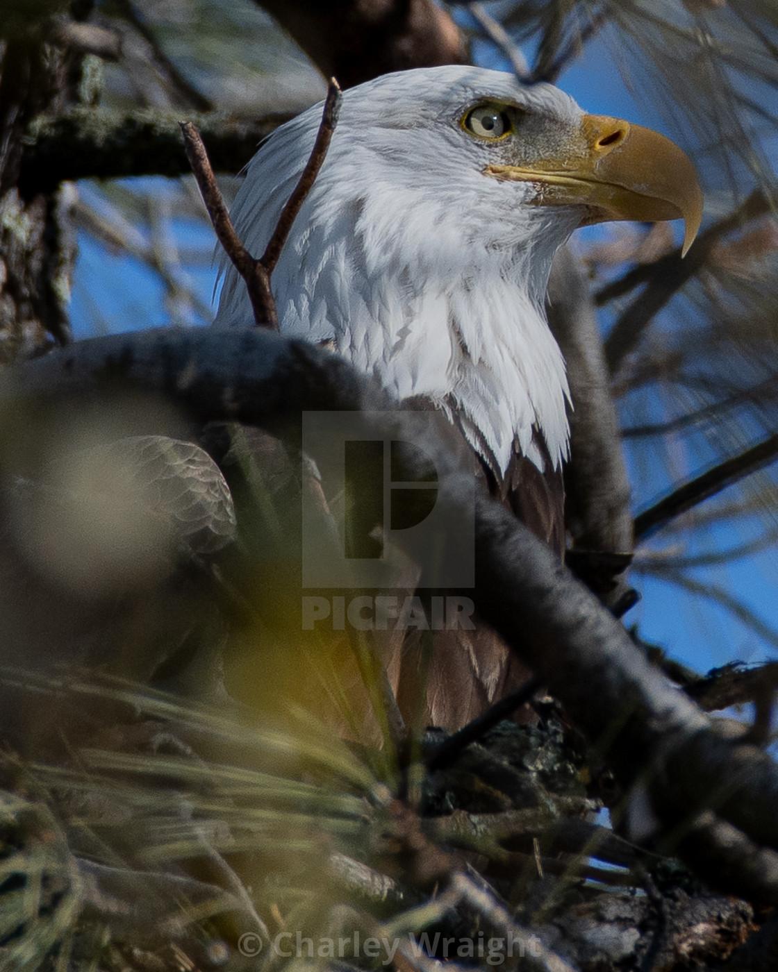 """""""A beautiful Bald Eagle."""" stock image"""