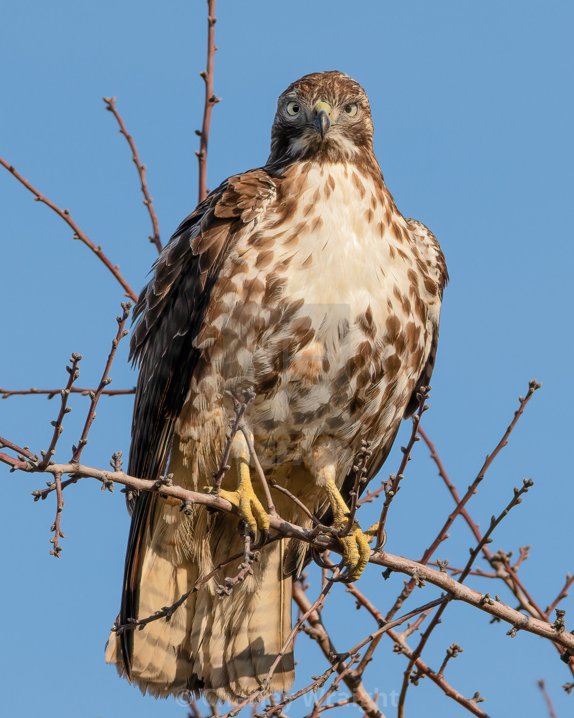 """A cross-eyed Red Tailed Hawk!"" stock image"
