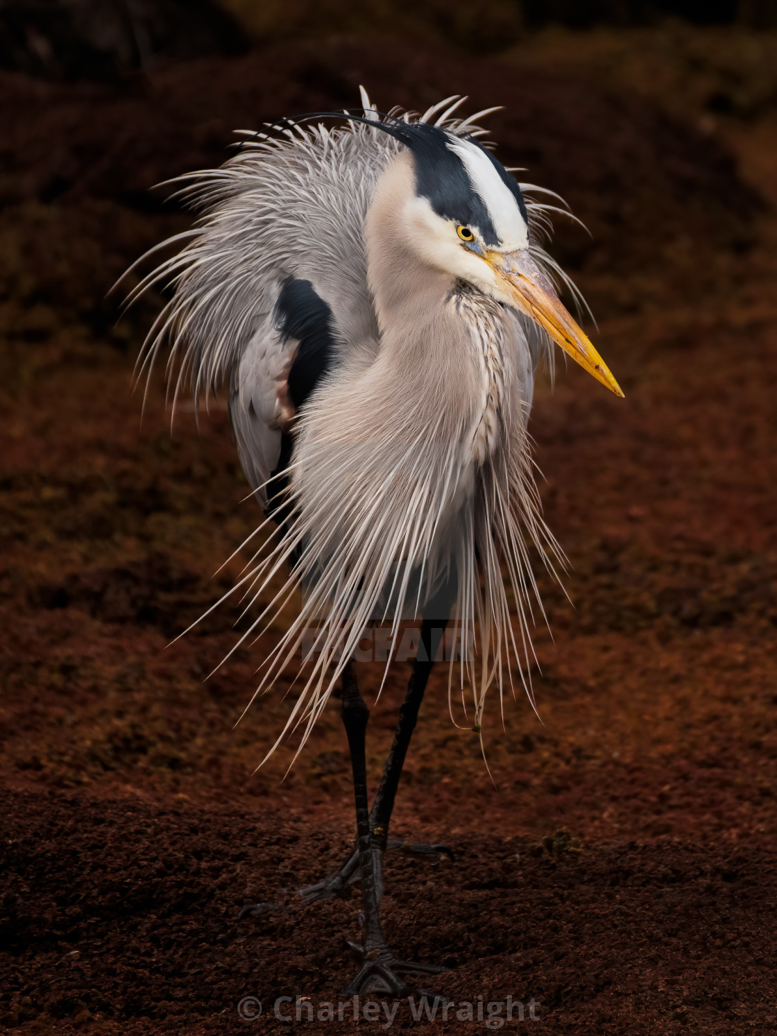 """""""A Great Blue Heron on nature's catwalk!"""" stock image"""