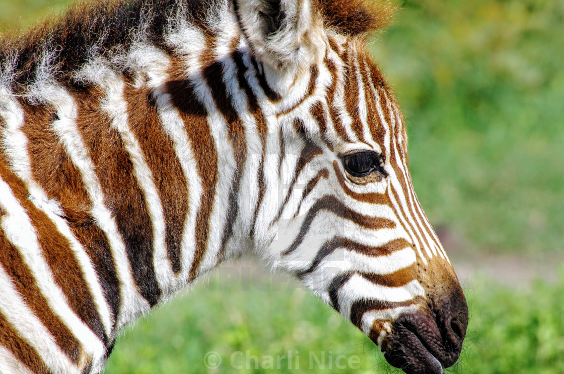 """Young Zebra"" stock image"