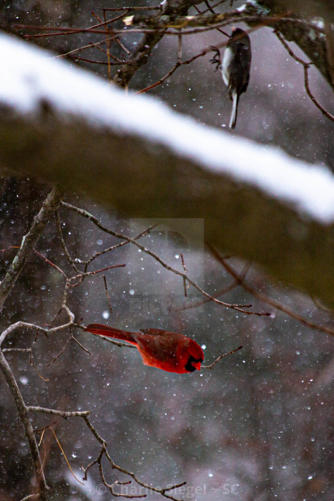 """Red Cardinal Taking Off in Snow"" stock image"