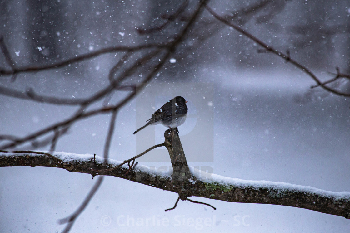 """Junco Bird Perched During Snowfall"" stock image"