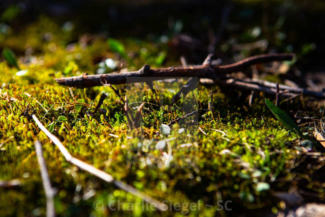 """Springtime moss growing next to a stick"" stock image"