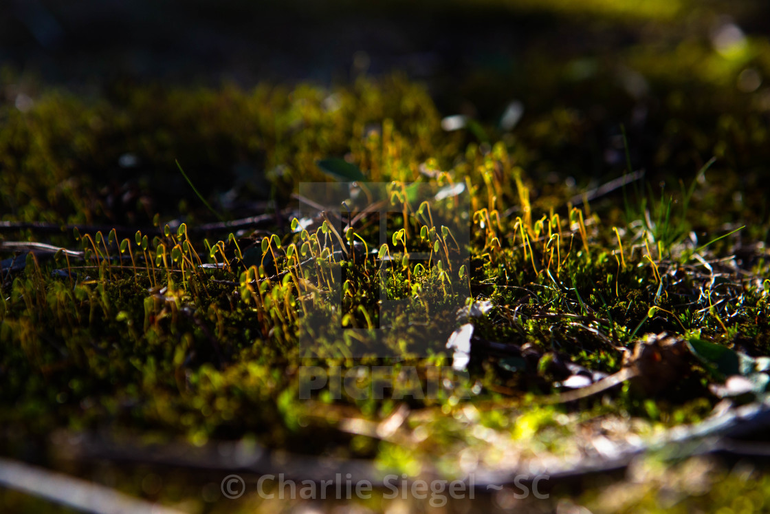 """Tiny Moss Growing"" stock image"