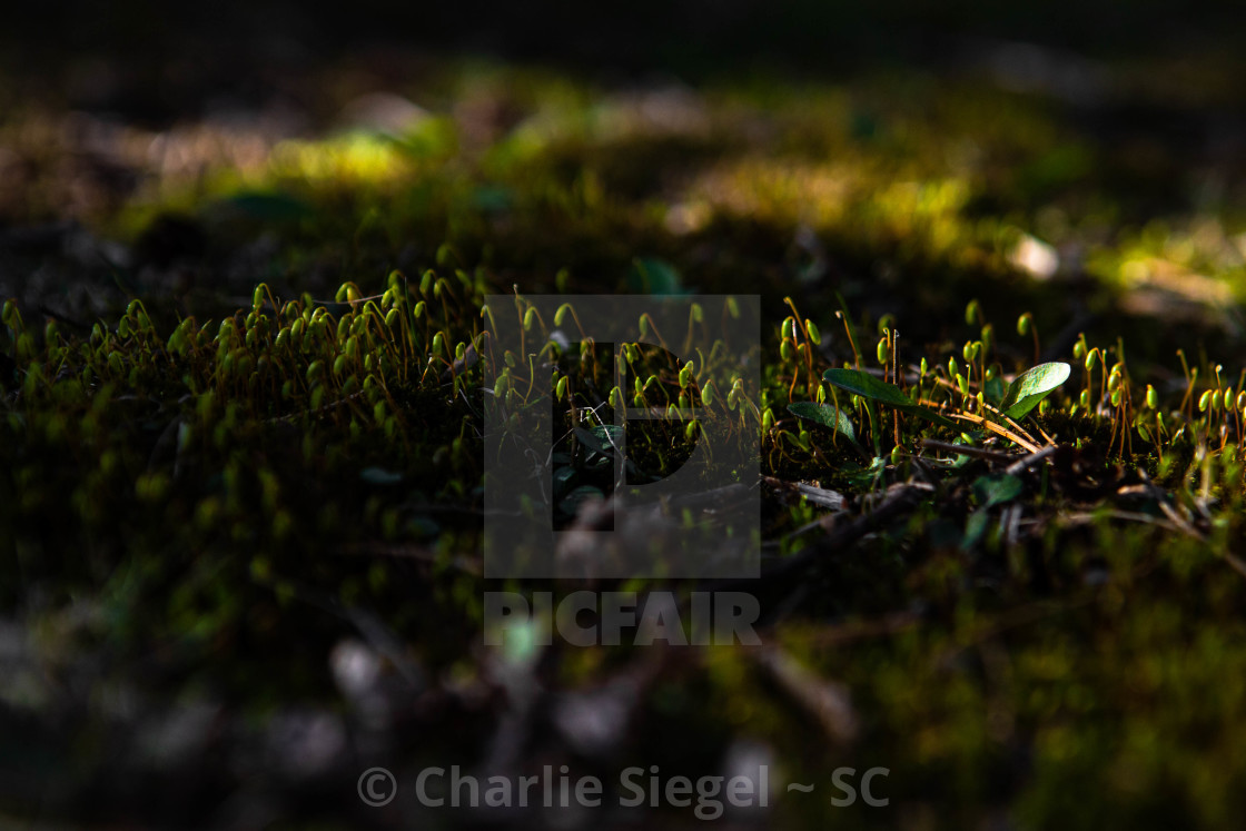 """Moss in sunlight macro photograph"" stock image"