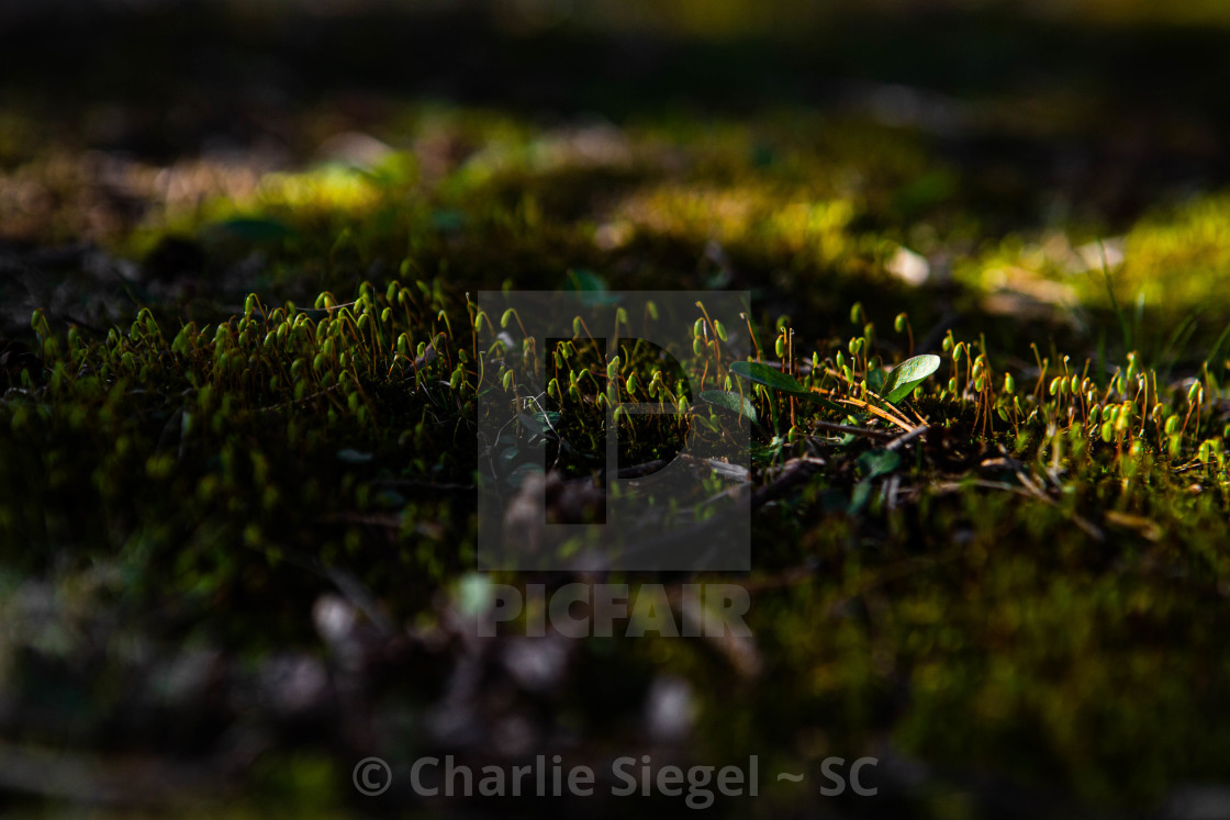 """Hopeful View of Moss Growing in Spring"" stock image"