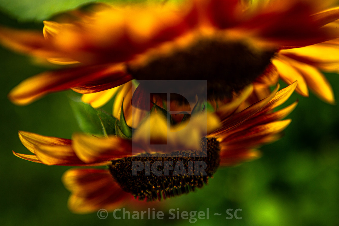 """Autumn Beauty Sunflowers"" stock image"
