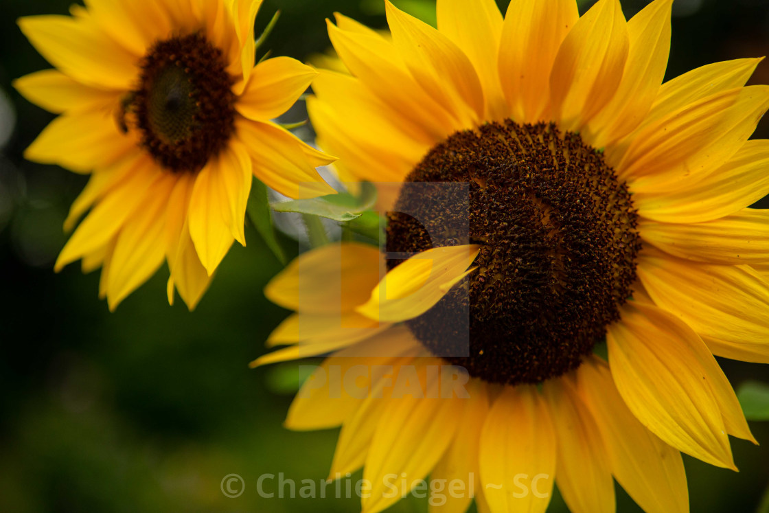 """Sunflower Sticking its Tongue Out"" stock image"