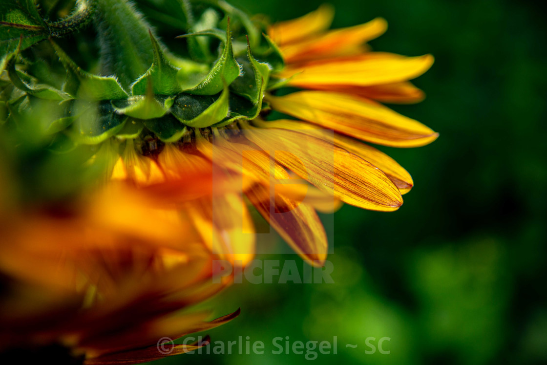 """Autumn Beauty Sunflower Petals"" stock image"