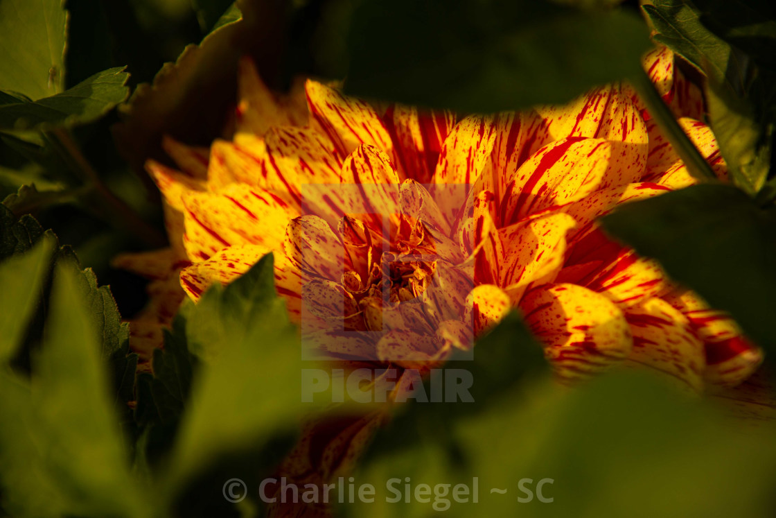 """Autumn Colored Dahlia"" stock image"