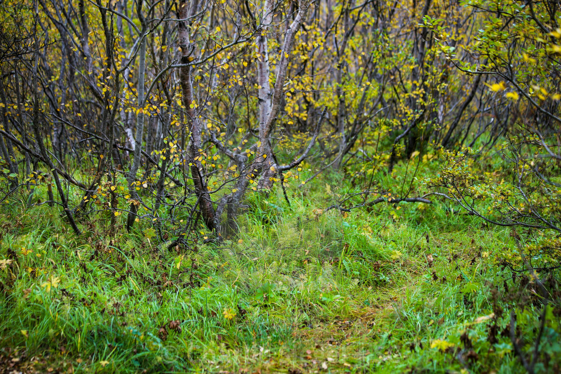 """Trail through the Birch"" stock image"
