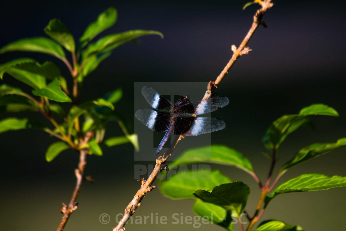 """Blue Dragonfly on a Forsythia Branch"" stock image"
